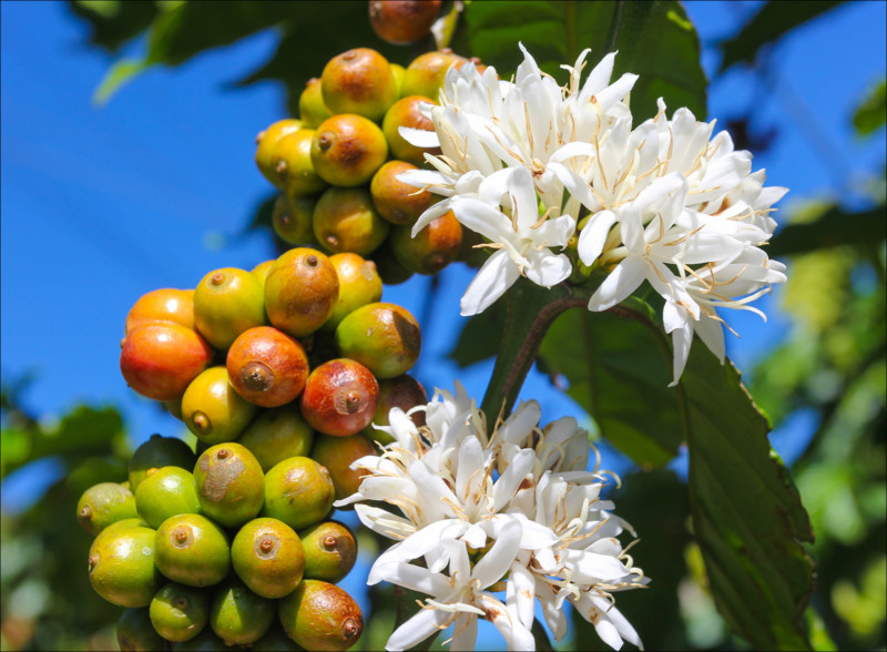 Coffee Cherry Tree